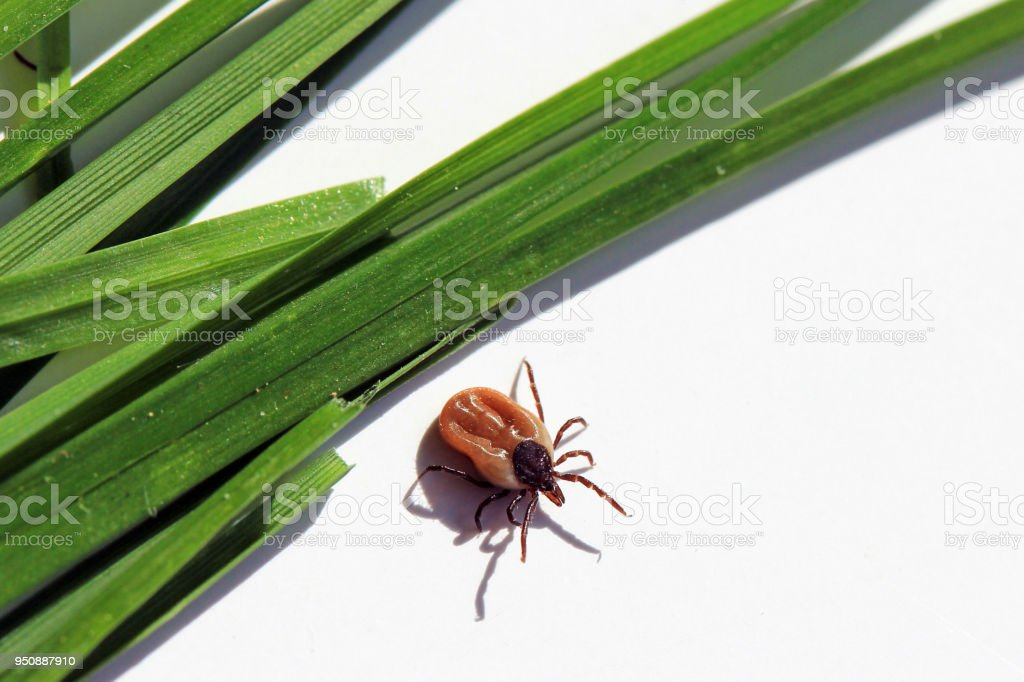 A dangerous tick crawls on the ground from the blades of grass stock photo