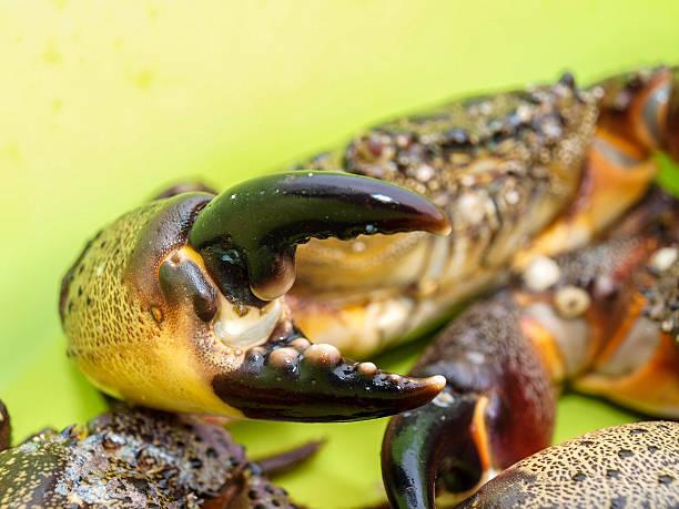 dangerous weapon black stone crab - bemalte muscheln stock-fotos und bilder