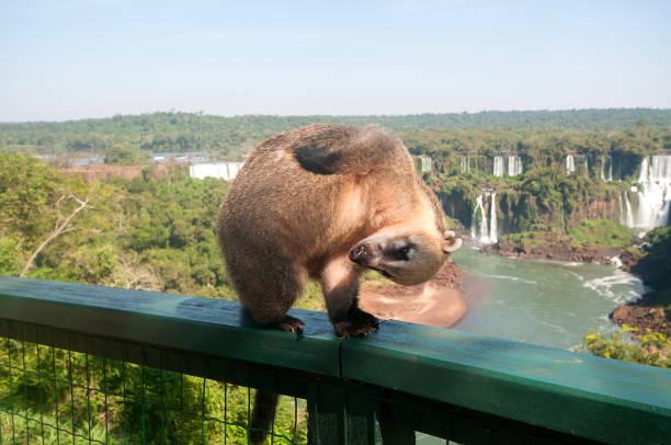 Dangerous wild coati (nasua) posing on Brazilian side stock photo