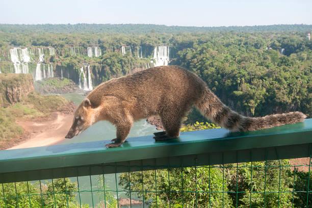 Gefährliche wilde Nasenbären (Nasua) posiert auf brasilianischer Seite – Foto