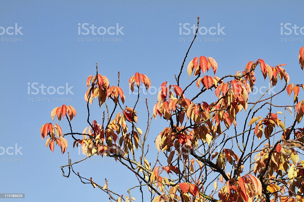 Dangling orange cherry leaves branches in autumn royalty-free stock photo