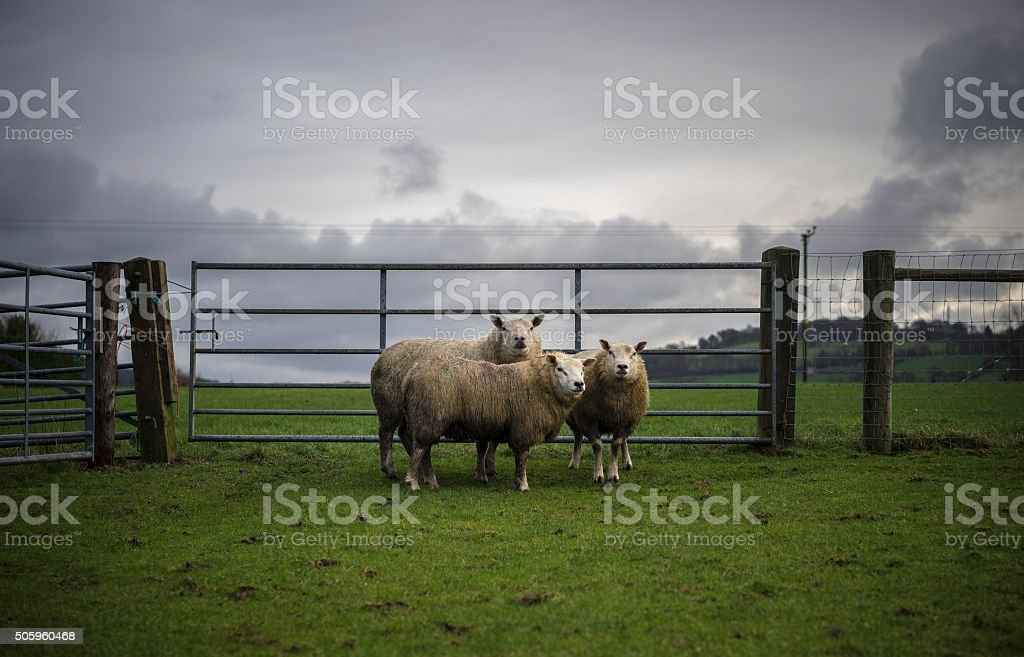 Danish Breed Sheep stock photo