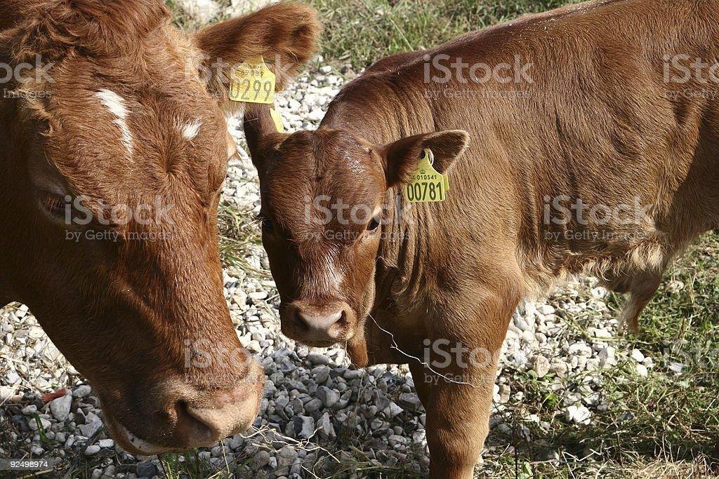 danish cows 02 royalty-free stock photo