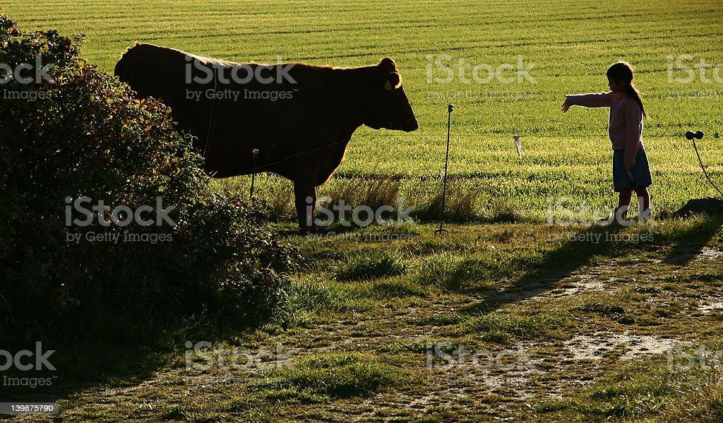 danish cows royalty-free stock photo