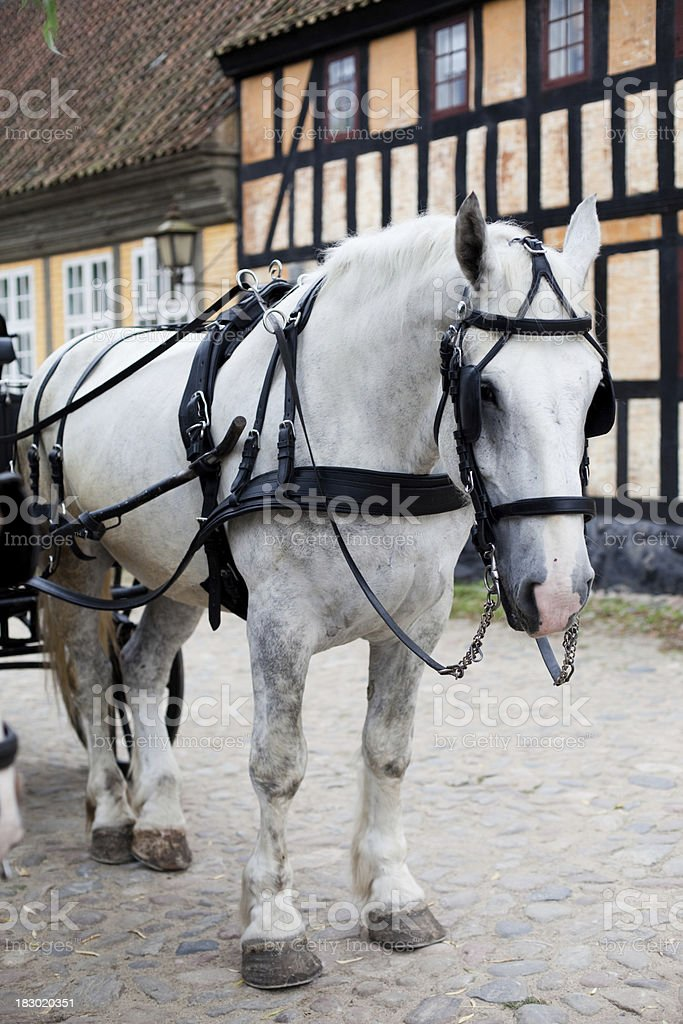 Danish Draft Horse in Harness stock photo