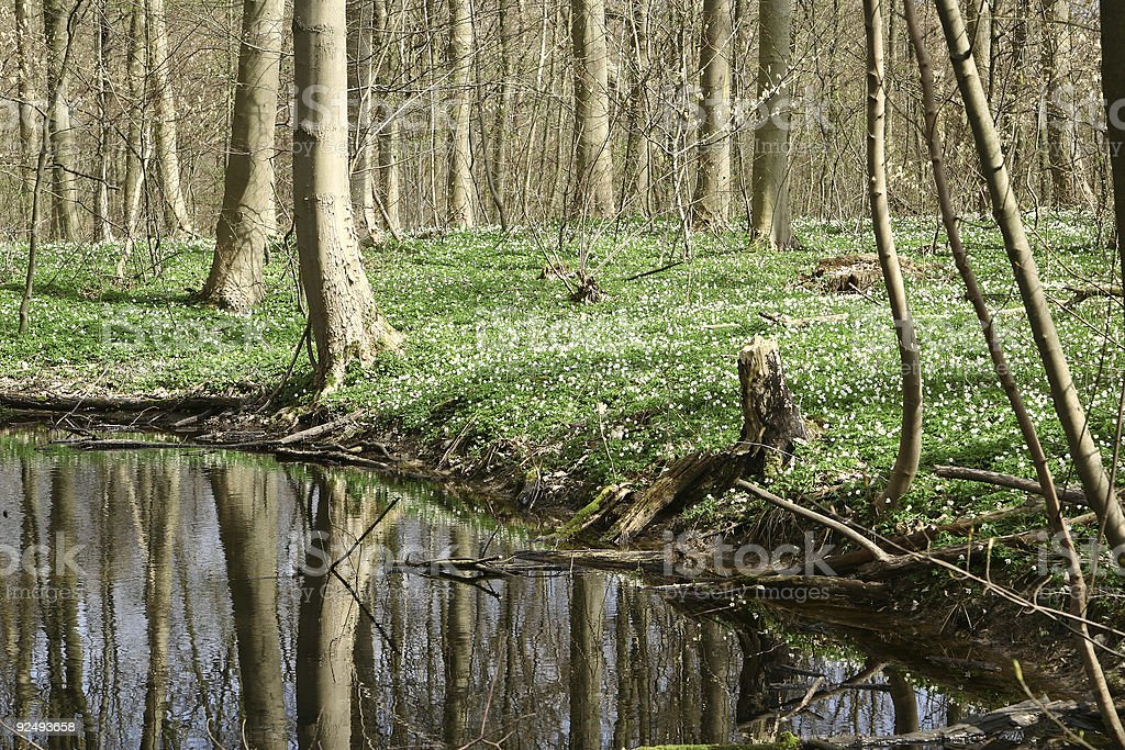 danish forest in spring 01 royalty-free stock photo