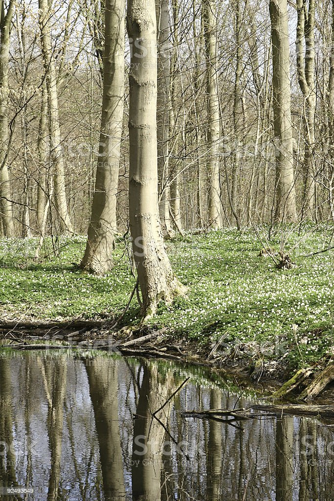 danish forest in spring 02 royalty-free stock photo