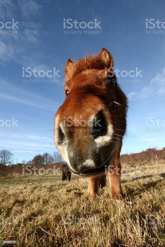 danish horses royalty-free stock photo