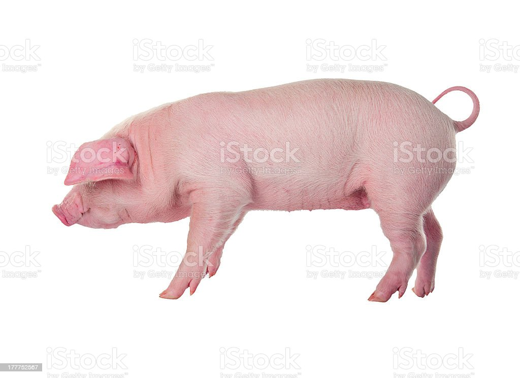 Danish Landrace pig breeds. Isolated on white background stock photo