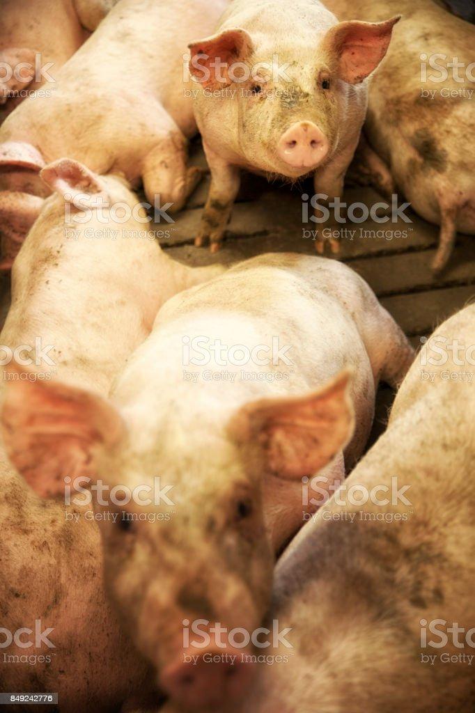 Danimarkalı Piglests çukuru içinde. stok fotoğrafı