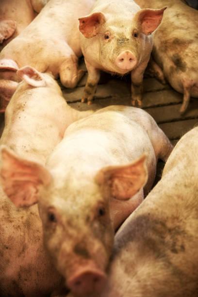 Danish Piglests in pigpen. stock photo