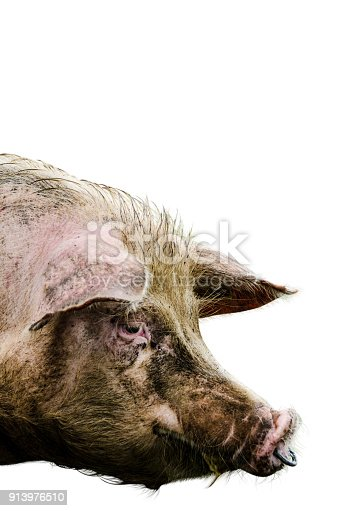 The head of a danish pink pig looking in the camera, cut out on white a background