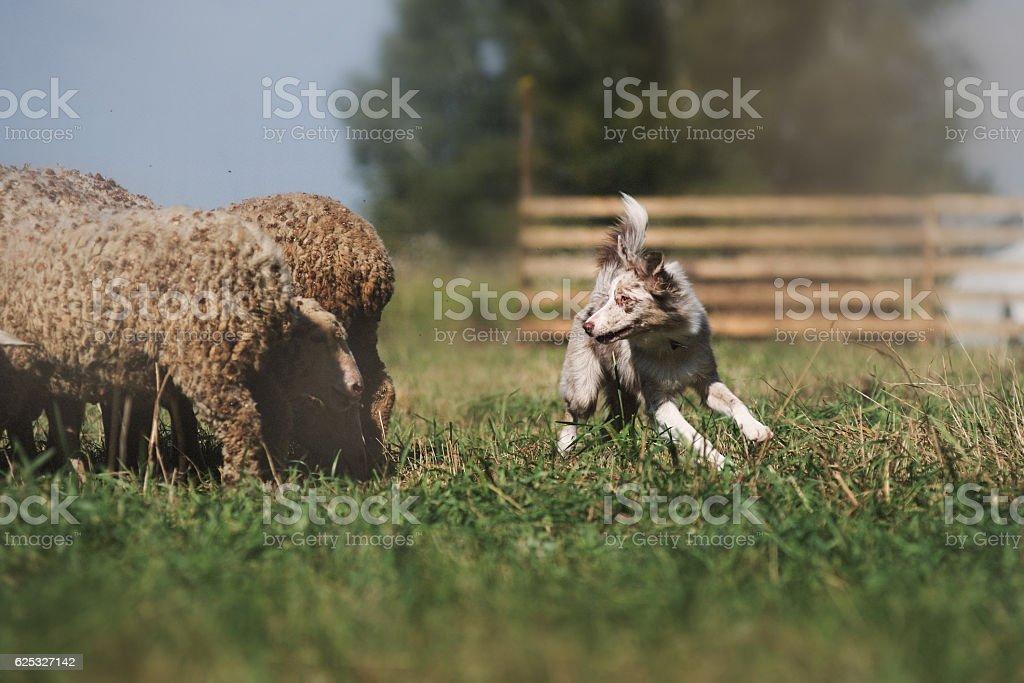 danish sheepdog stock photo