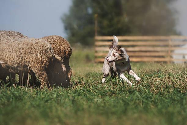 danish sheepdog danish sheepdog herding stock pictures, royalty-free photos & images