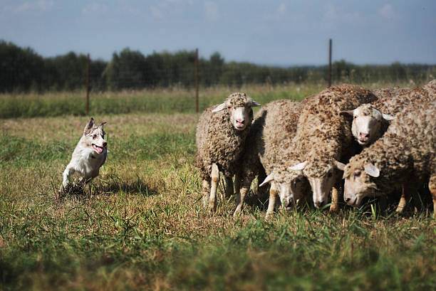 danish sheepdog danish sheepdogdanish sheepdog herding stock pictures, royalty-free photos & images