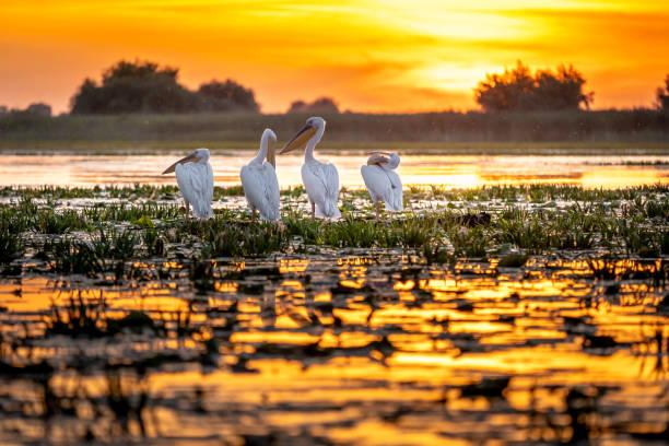 Danube Delta, Romania. Pelicans at sunrise stock photo