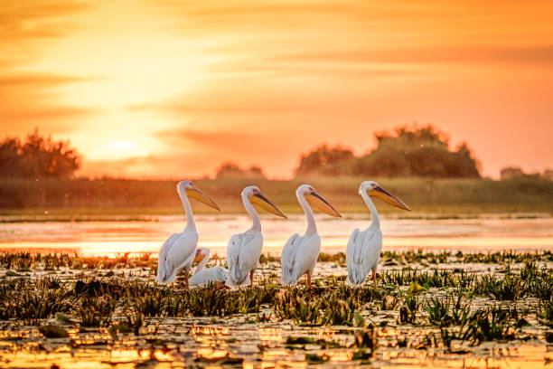 Danube Delta Romania Pelicans at sunset on Lake Fortuna stock photo