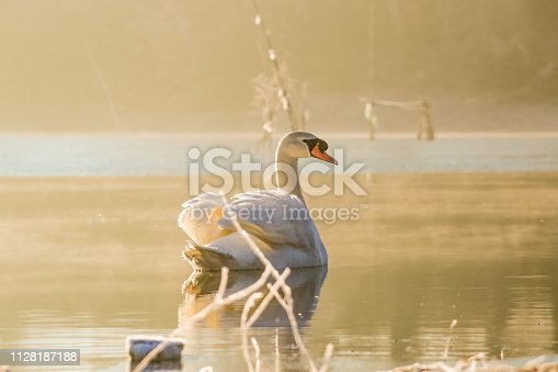 Novi Sad, Serbia - February 07, 2019. Danube Winterscapes on sunny winter morning. River, water, swan courting.