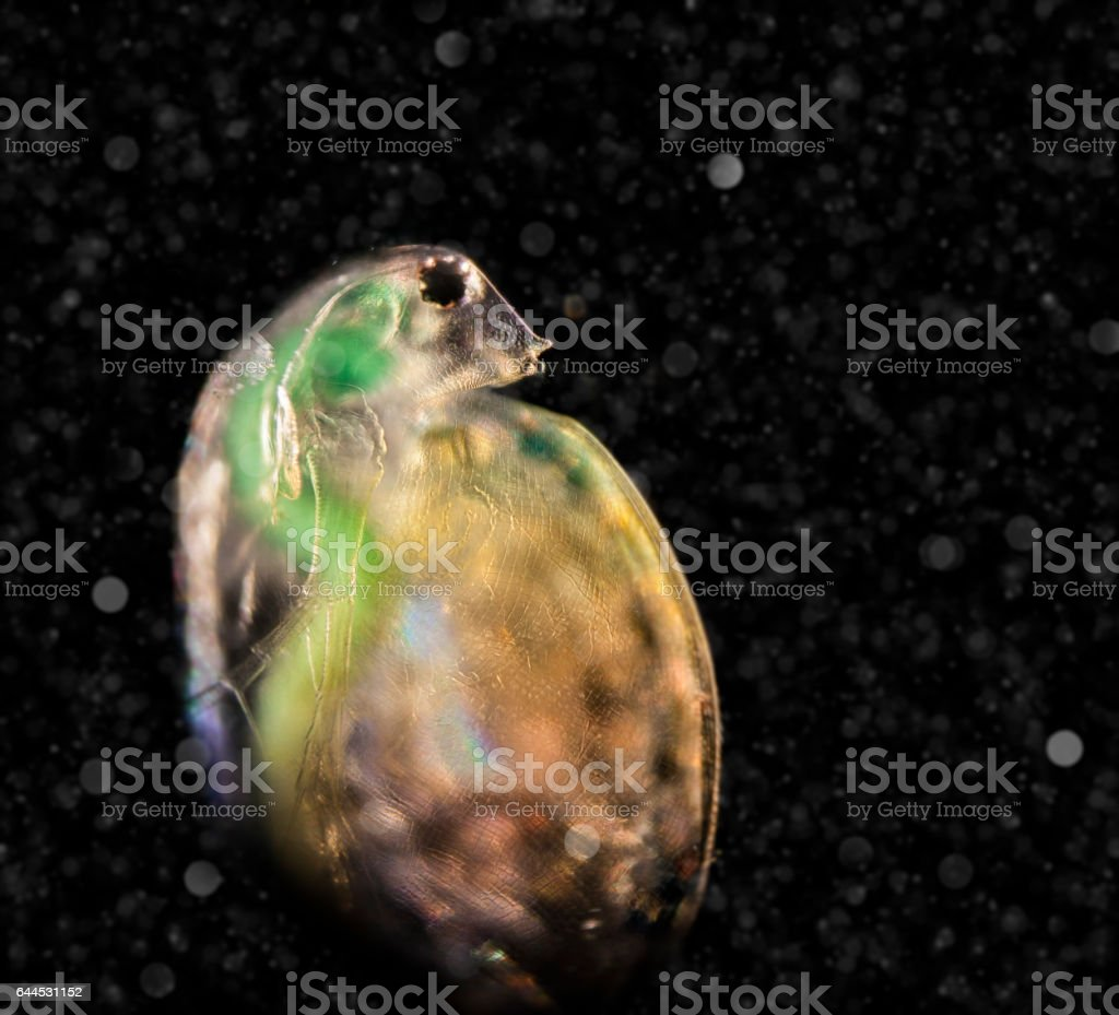 Daphnia in the water column, visitor from another world stock photo