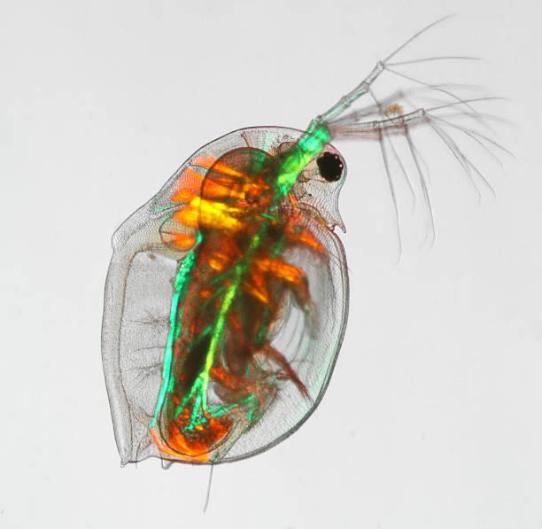 Daphnia pulex - water flea polarized light stock photo