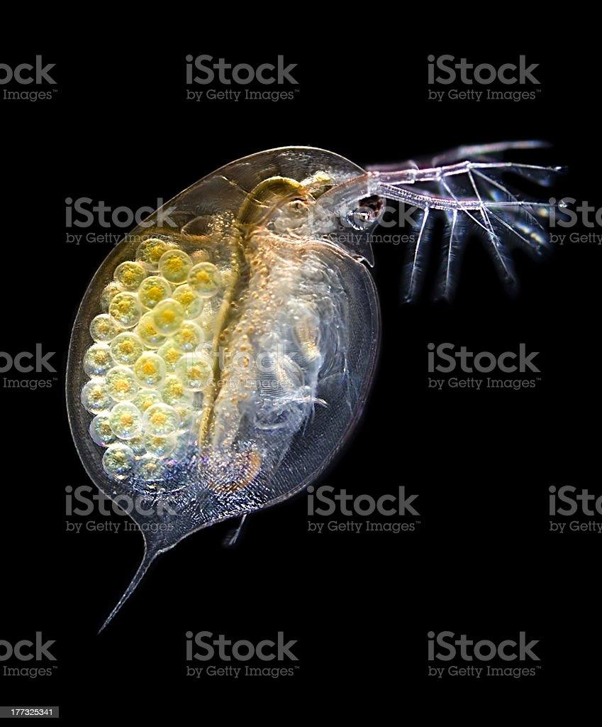 Daphnia - water flea stock photo