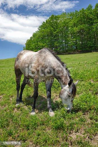 A dapple gray horse grazing in green grass on a scenic  hillside summer pasture.