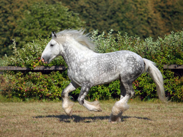 Best Draft Horse Stock Photos, Pictures & Royalty-Free ...