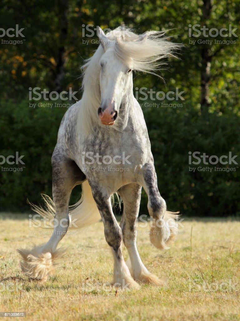 dapple grey drum horse stallion runs gallop stock photo more