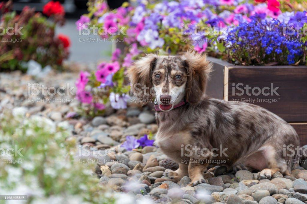 Dapple Miniature Dachshund Puppy Weenie Dog Wiener Teckel Flowers Stock Photo Download Image Now Istock