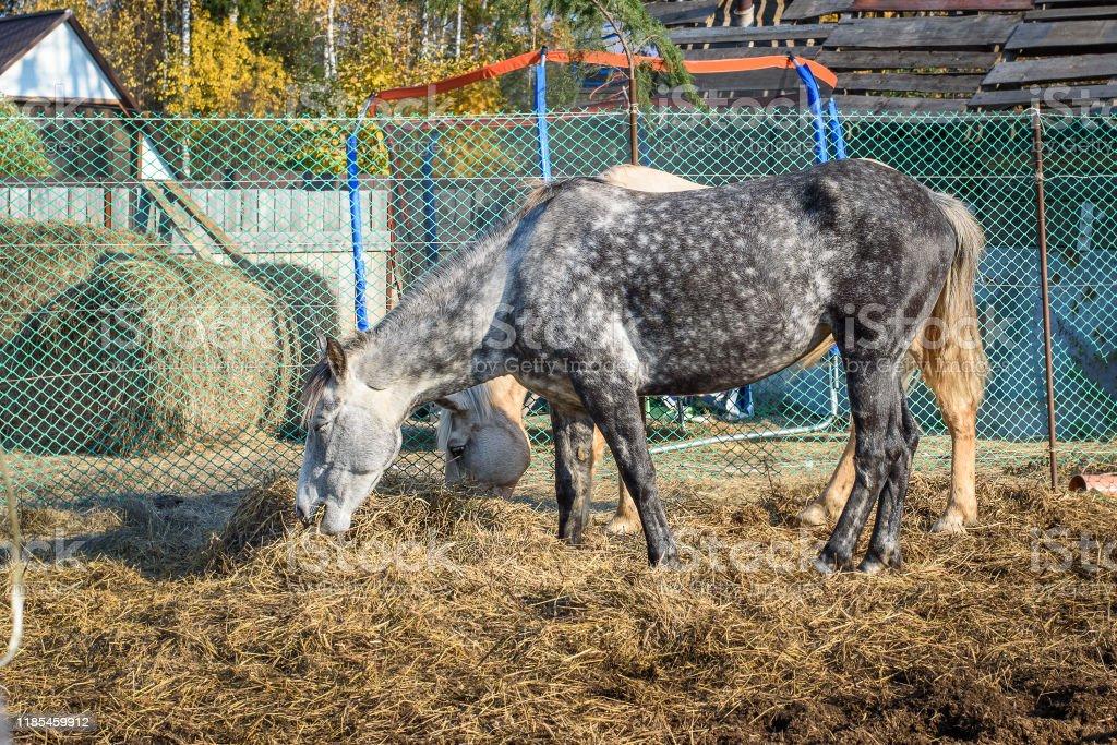 Dappled Gray And Palomino Horses Eating Hay Stock Photo Download Image Now Istock