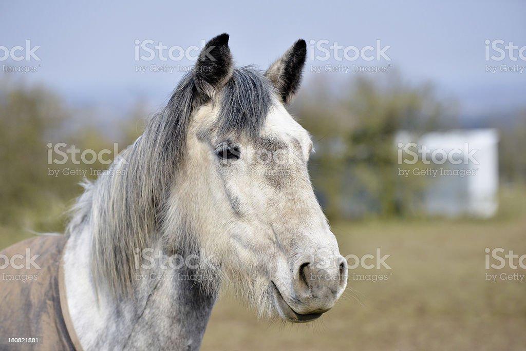 Dappled Grey royalty-free stock photo