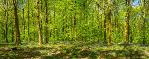 Gedämpftes Sonnenlicht im idyllischen grünen Laubwald Wald Lichtung Panorama – Foto