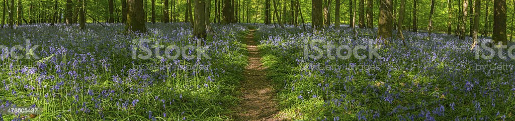 Dappled sunlight on leafy forest trail though idyllic bluebell woods stock photo