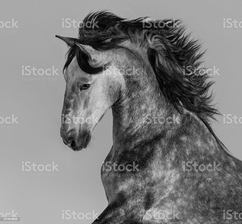 Dapple-grey Andalusian stallion - portrait in motion stock photo