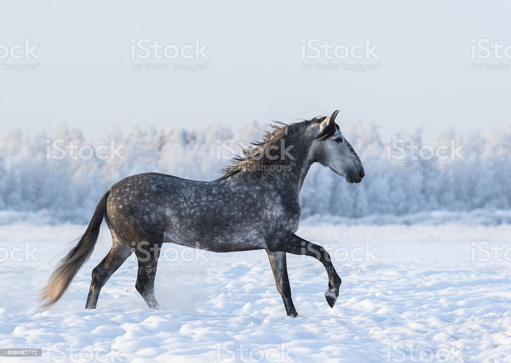 Dapple-grey horse cantering on field at winter time stock photo