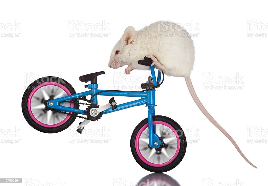 Daredevil White Mouse Stunt Riding on Bicycle Handlebars stock photo