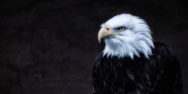 dark american bald eagle looking left - eagle stock photos and pictures