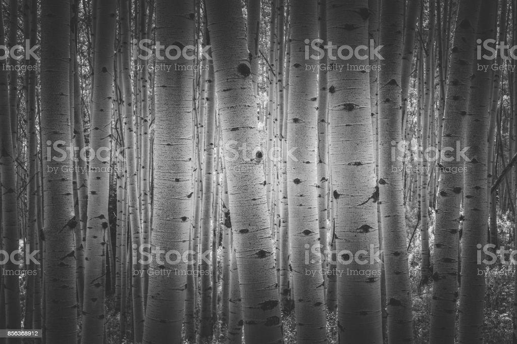 Dark Aspens stock photo