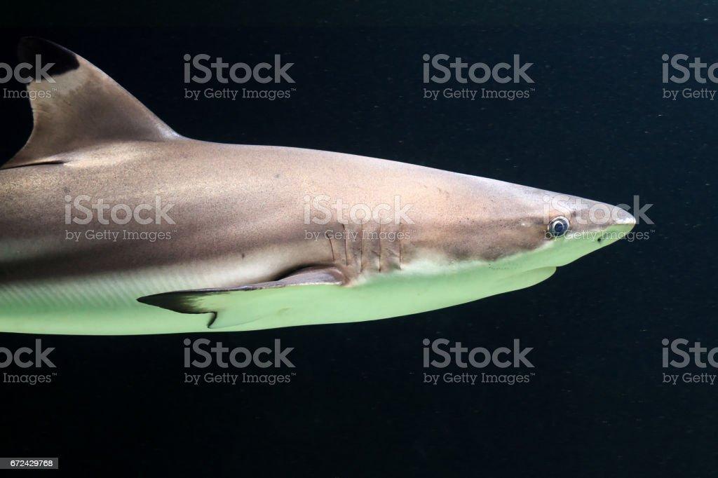 Dark blacktip reef shark stock photo