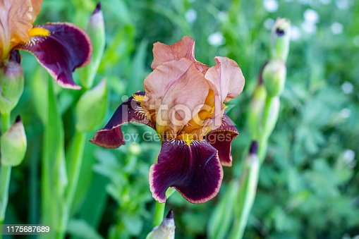 Dark blooming Irises xiphium (Bulbous iris, sibirica) on green leaves ang grass background in the garden in spring and summer