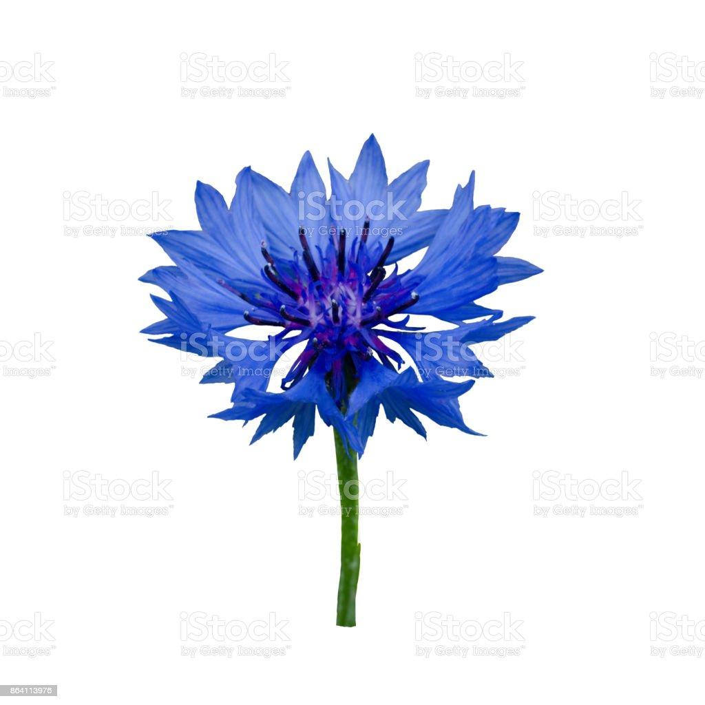 Dark Blue cornflower royalty-free stock photo