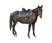 Side view of dark brown adult horse looking forward and isolated on white background