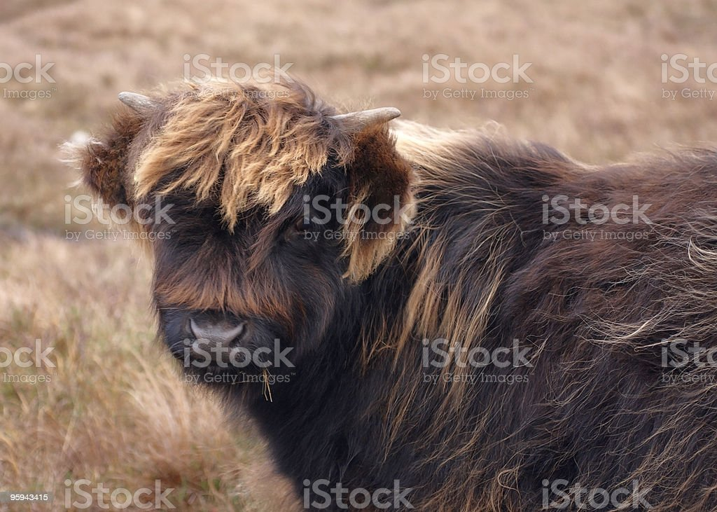 dark brown Highland cattle portrait royalty-free stock photo