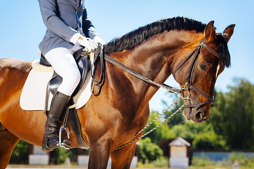 Race horse. Dark brown race horse submissively standing near her owner wearing blue trousers and riding boots