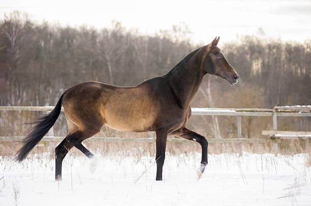dunkle buckskin akhal-teke horse zuhause im winter paddock - akhal teke stock-fotos und bilder
