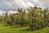 Dark clouds above a Dutch apple orchard with harvest ripe red apples. Some apples have fallen in the grass under the trees.