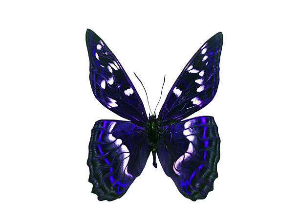 Dark Color Butterfly with violet wings. Isolated on white background stock photo