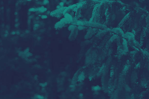 dark evergreen background - evergreen tree stock photos and pictures