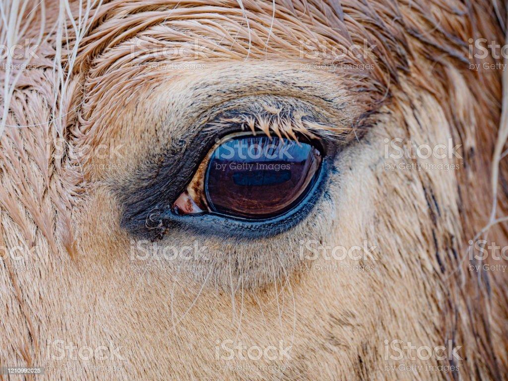 Dark Eye Of Golden Isabella Horse White Horse Eye Stock Photo Download Image Now Istock