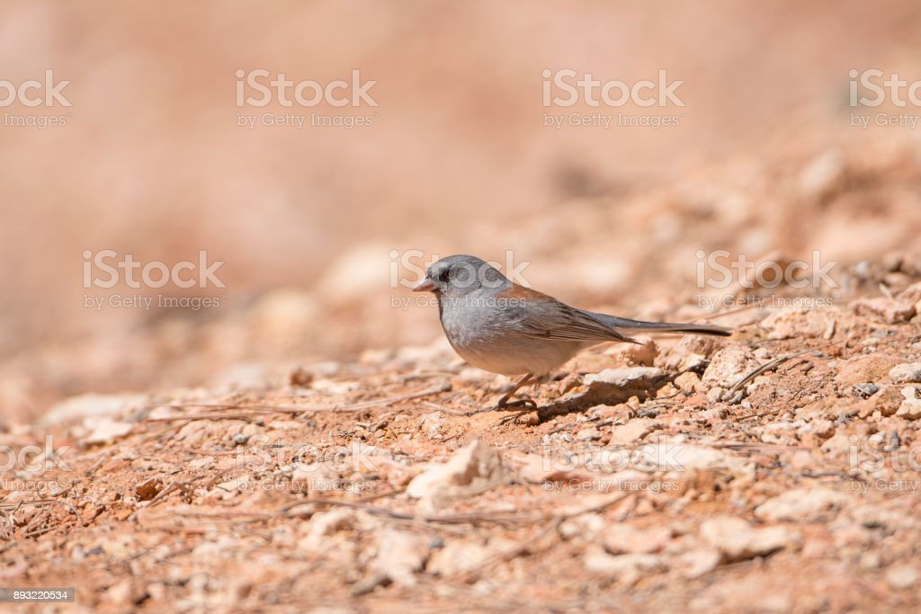 Dark Eyed Junco on the Ground stock photo
